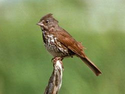 Photo of a fox sparrow