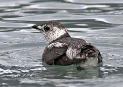 Photo of a Kittlitz's Murrelet