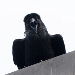 Photo of a raven