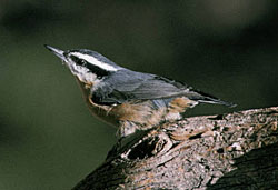 Photo of a red-breasted nuthatch