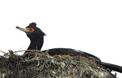 Photo of a red-faced cormorant