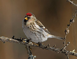 Photo of a redpoll