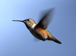 Photo of a rufous hummingbird