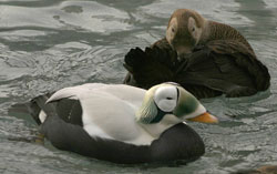 Photo of a spectacled eider