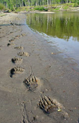 Bear tracks along the beach