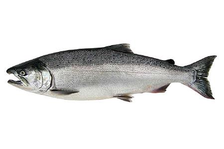 Salmon cam virtual viewing alaska department of fish for Salmon fish images