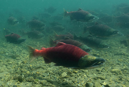 spawning adult salmon