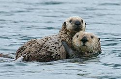 Photo of two sea otters
