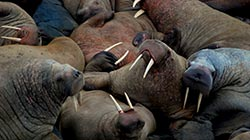 Walrus webcam