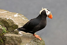 Photo of a tufted-puffin