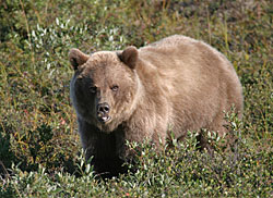 Photo of a grizzly bear