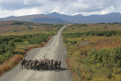 Group of reindeer on the road