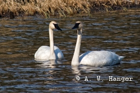 photo of Trumpeter Swan Observatory area wildlife