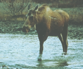 photo of Chilkat River area wildlife