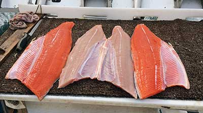 What Makes King Salmon Flesh Red or White?, Alaska