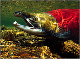 Underwater photo of a sockeye salmon in a stream