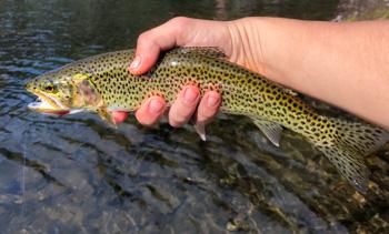 Cutthroat trout
