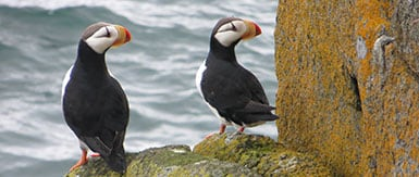 two puffins sit on weathered shoreline rocks