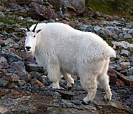 Photo of a mountain goat.