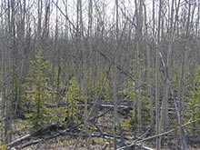 Grouse habitat
