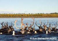 Caribou migration in Alaska.