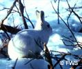White hare on tundra