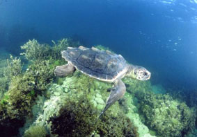 Photo of a Loggerhead Sea Turtle