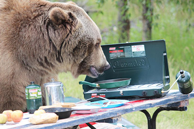 Bear sniffing around campsite