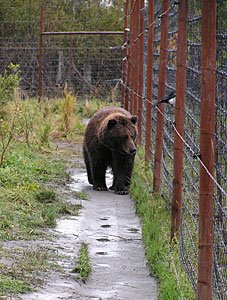 bear next to electric fence