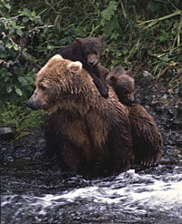 brown bear and two cubs