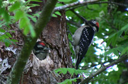 photo of two hairy woodpecker