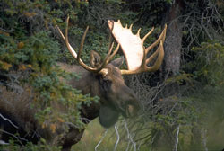 Photo of a bull moose