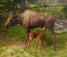 Moose cow and two calves