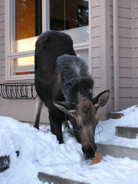 moose eating pumpkin in front of house