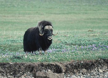 Muskox standing in field of lupine