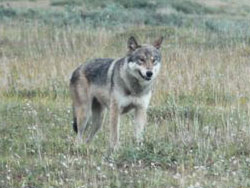 photo of a wolf
