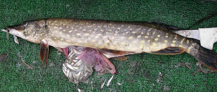 Pike with consumed salmonids in its stomach