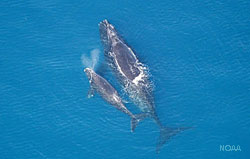 photo of two right whales swimming