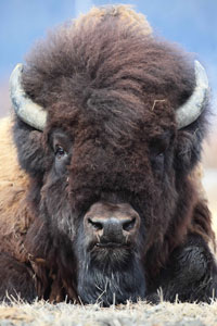 Wood Bison Federally Threatened Listing Information