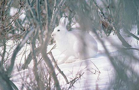 Photo of an Alaska Hare