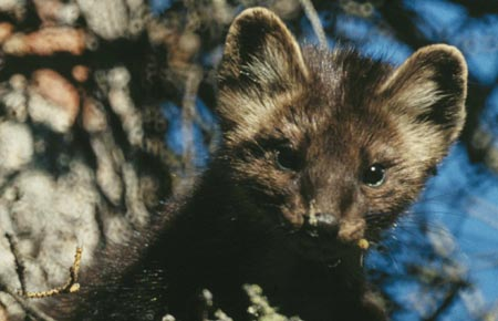 Photo of an American Marten