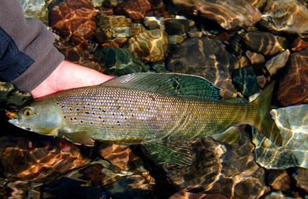 Photo of a Arctic Grayling