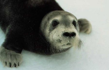 Photo of a Bearded Seal
