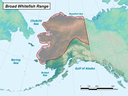 Broad Whitefish range map