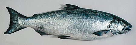 Photo of a Chinook Salmon