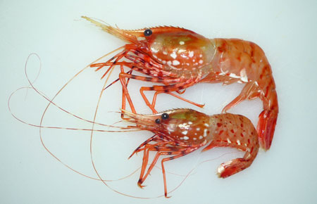Photo of a Coonstripe Shrimp