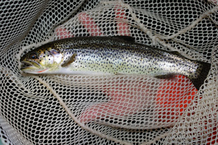 Photo of a Cutthroat Trout