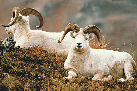 Photo of a Dall Sheep