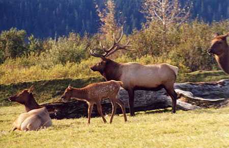 Photo of a Roosevelt Elk