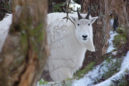 Photo of a Mountain Goat